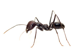 Close up Photo of a Black Ant