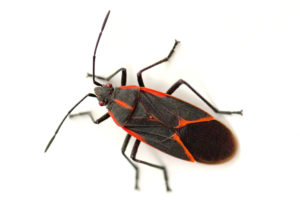 Close up Photo of a Boxelder Bug