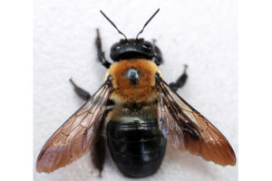 Close up Photo of a Carpenter Bee