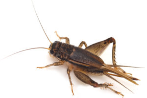 Close up Photo of a Cricket