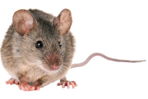 Close up Photo of a common House Mouse
