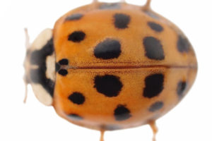 Asian Lady Beetle Photo - overhead shot