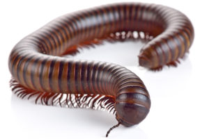 Close up Photo of a Millipede