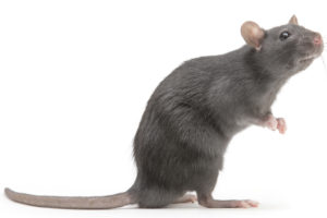 Close up Photo of a Black Rat