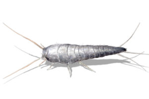 Close up Photo of a Silverfish