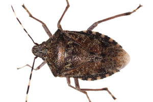 Close up Photo of a Brown Marmolated Stink Bug