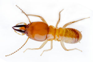Close up Photo of a Termite
