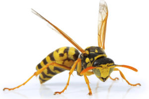 Close up Photo of a Yellow Jacket